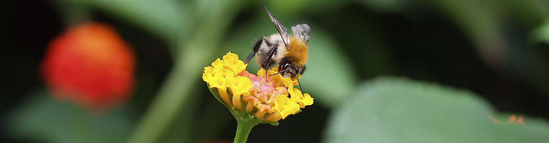 Hier finden Bienen noch Blüten
